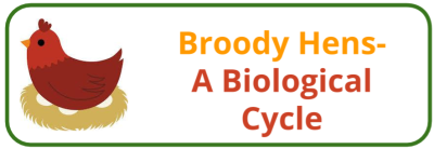 Broody Hen- A Biological Cycle - Edited