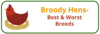 Broody Hen- Best & Worst Breeds - Edited