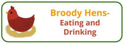 Broody Hen- Eating and Drinking - Edited
