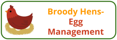 Broody Hen- Egg Management - Edited