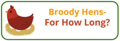 Broody Hen- How Long- - Edited