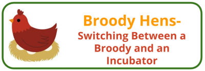 Broody Hen- Transfer Incubator and Broody - Edited