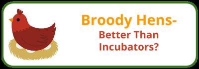 Broody Hen- Using Incubators - Edited